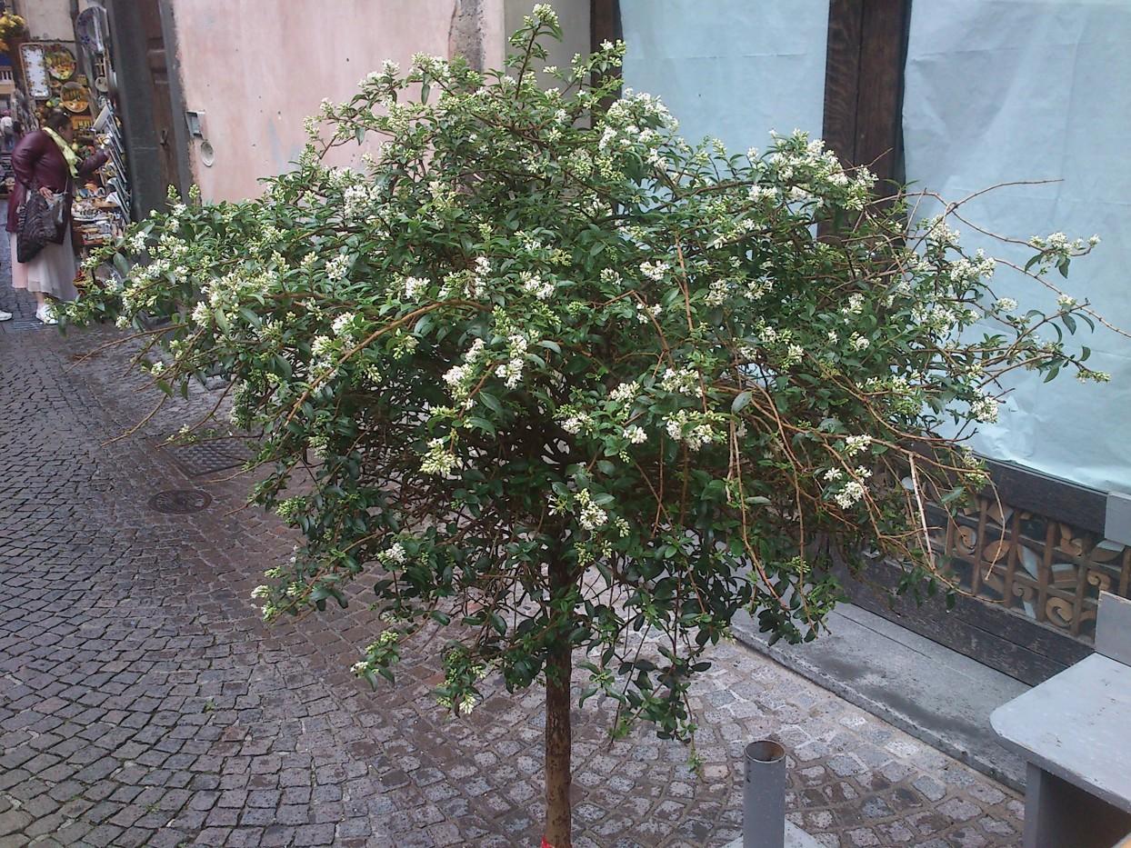 Et duftende træ på gaden (fotograferet af Martin)